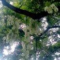 Akáty kvetou záplavou velkých bílých vonících girland