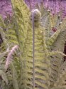 Kapradí je tajemná rostlina ...