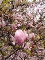 Když magnolie na jeře rozkvete, je to záplava narůžovělých květů.