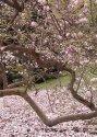 Malebně křivolaké větve petřínské magnolie se opírají o zem.