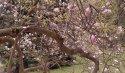 Petřínská magnolie se rozkládá doširoka, odhaduji že je to kruh víc než deset metrů v průměru.
