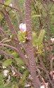 mladé větvičky magnolií mají dobře viditelné letnicely