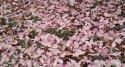 Plátky květů magnolie na zemi dlouho růžové nevydrží, rychle hnědnou,