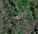 Otakárek se zavěšoval na květiny tak, že byl vidět zespodu, tu krásnou kresbu na křídlech neukázal.