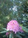 kopie-rododendron-1-.jpg [576 x 768]