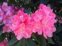 kopie-rododendron-17-.jpg [1024 x 768]