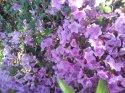 kopie-rododendron-18-.jpg [1024 x 768]