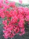 kopie-rododendron-3-.jpg [576 x 768]