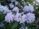 kopie-rododendron-6-.jpg [1024 x 768]