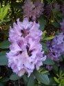 kopie-rododendron-9-.jpg [576 x 768]