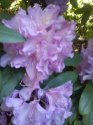 rododendron-10-.jpg [576 x 768]