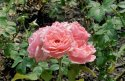 tuhle kytici růží by stačílo dát do vázy, narostla přesně