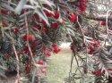 Tisinka je takový měkký červený míšek, ve kterém je hodně tvrdé semeno