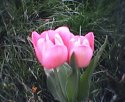 tulip-dva.jpg [352 x 288]