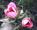tulip-dvojce.jpg [352 x 288]