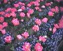 tulip-ruzovy-lan.jpg [352 x 288]