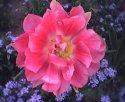 tulip-sen.jpg [352 x 288]