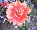 tulip-senden.jpg [352 x 288]