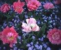 tulip-soliter.jpg [352 x 288]