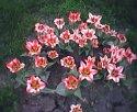 tulip-trs.jpg [352 x 288]
