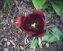 tulipan-operator.jpg [352 x 288]